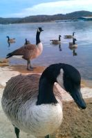 Canadian Geese by TheCuraga