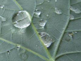 Water Drops on Veiny Leaf 1 by FantasyStock