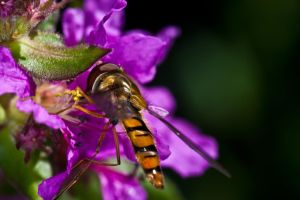 hoverfly in pink flower by YvdlArt