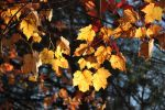 Golden Leaves by SecretWindow11
