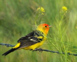 Male Western Tanager Wire Fenc by houstonryan