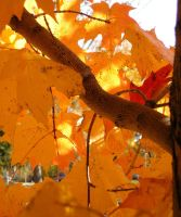 Fall Tree by bwall49