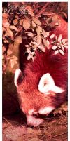 Red Panda by SunshadePICTURES