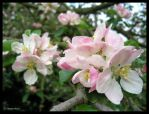 Apple blossom by Astrocat
