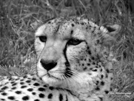 Cheetah by CWINPhotography