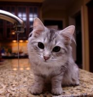 Kitten and Faucet no. 4 by Mischi3vo