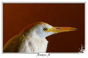 portrait white heron head by AMROU-A