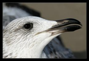 Herring Gull by invisiblewl
