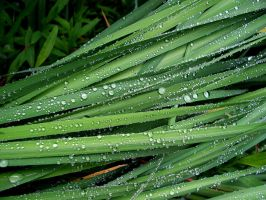 Dew Drops by Christo27