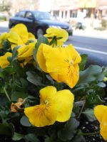 Spring Garden Yellow Pansies by citynetter
