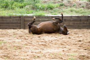 KM old TB laying rolling on back 10 by Chunga-Stock