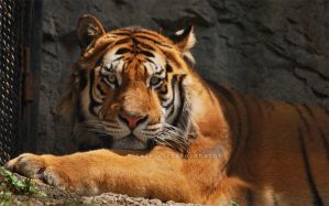 ..:: Siberian Tiger ::.. by firegold
