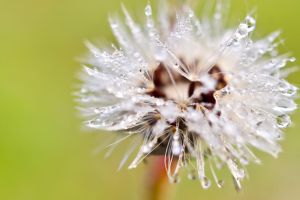 dandelion by housel1984