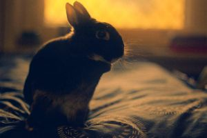 Sunset Netherland Dwarf Bunny Rabbit by AwakeNight