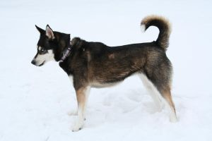 Siberian Husky Stock 014 by EssenceOfPerception