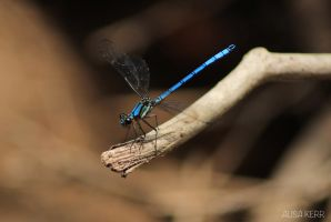 Dragonfly 2 by alimay9