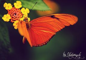 Butterfly by Mias-Photography