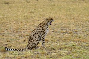 cheetah, the beautiful by laogephoto
