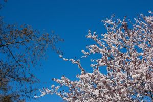 Cherry Blossoms 7 by KariLouMc