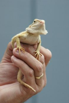 BEARDED DRAGON 8 LARGER FILE STOCK by scratzilla