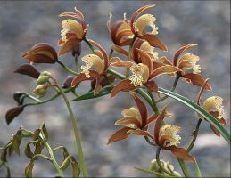Orchids.. by Firey-Sunset