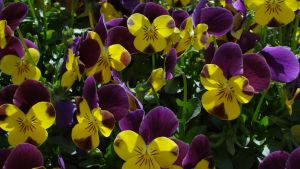 yellow and purple by K8kate160