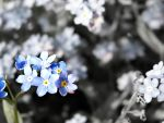 forget-me-not. by szafranik