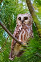 saw whet owl by griffspixs