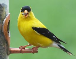 American Goldfinch by AppleBlossomGirl