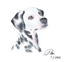 Dalmatian by TransparentSun27