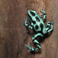 Dendrobates auratus by petertwang