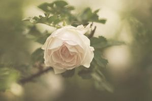 Old rose. by Winstein