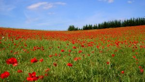 Poppy field by AUJEANPAS