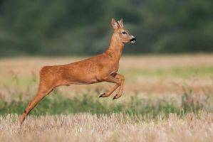 Young buck by JMrocek