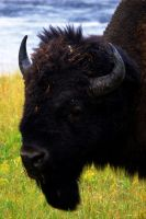 Portrait of Bison by LordXar
