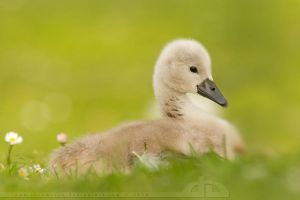 Why ugly duckling? by thrumyeye