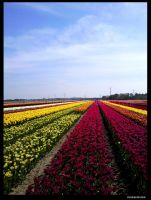Tulip Field in holland by Heckenshutze