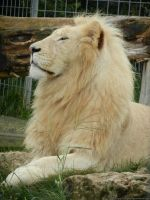 06.08.2012 - white lion with head held high by AnimalPhotographer