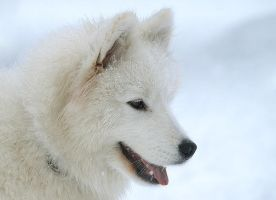 Samoyed by Sintija