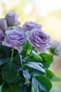 Blue Roses - STOCK by patchoulipatch