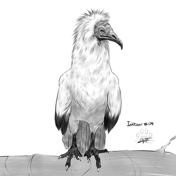 Inktober 09 : egyptian vulture by Lily-Fu
