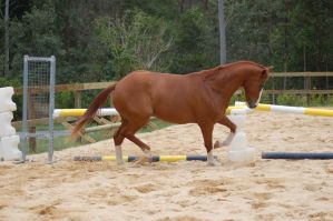 ASH bunched trot by Chunga-Stock