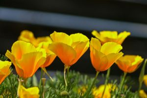 California Poppy by sztewe