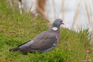 Wood pigeon by Jorapache