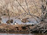 Bosque Geese by tmulcahy