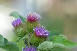 Pop Goes The Thistle by dorenna