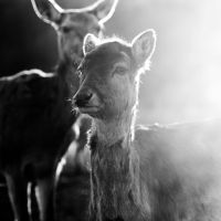 glowing deer vi by riskonelook