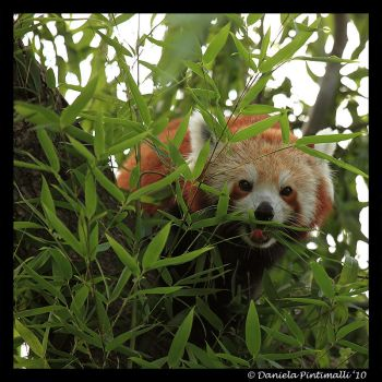 Red Panda: Cute Tongue II by TVD-Photography
