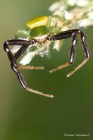 Male crab spider weaving by dllavaneras