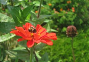 Bumblebee in a Red Flower by Adriellovesart